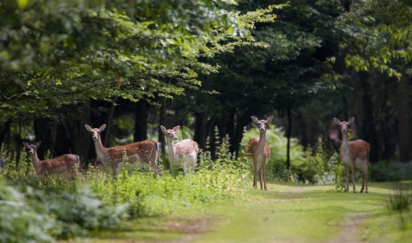deer epping forest